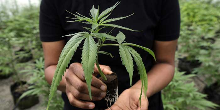 La legalizzazione della Canapa