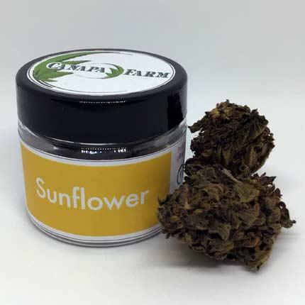 Sunflower vasetto 2.5 gr